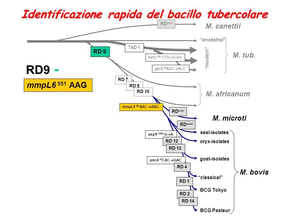 oxyR n285 G A M. africanum RD 7 RD 8 RD 10 RD 12 RD 13 M. canettii RD 9 M. tub. katG 463 CTG CGG M. microti M. bovis RD can RD mic RD seal classical R