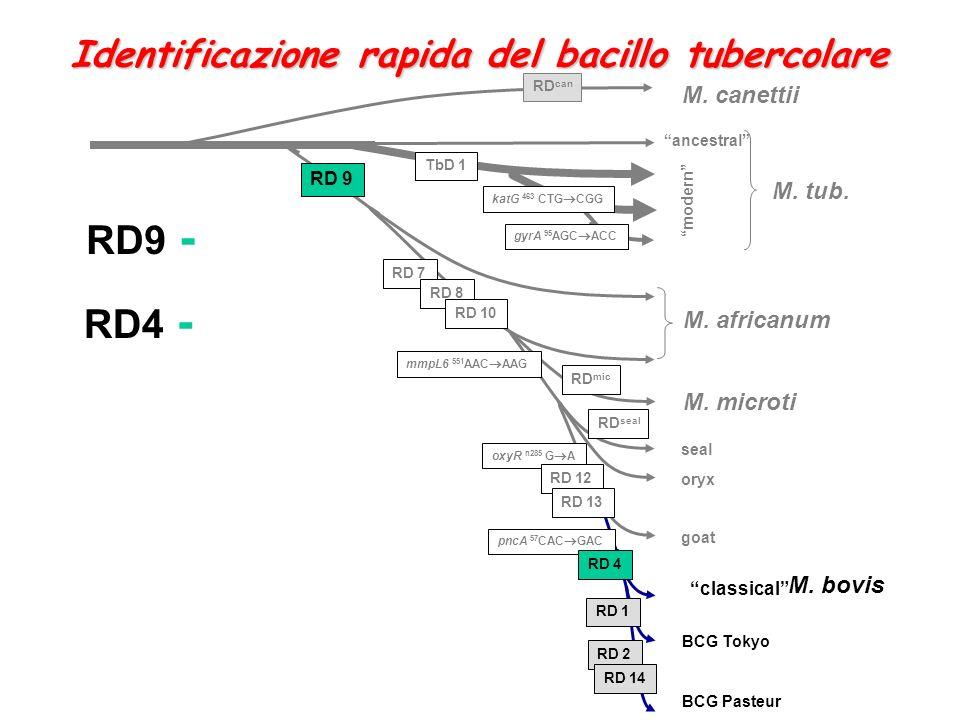 oxyR n285 G A M. africanum RD 7 RD 8 RD 10 RD 12 RD 13 M. canettii RD 9 M. tub. katG 463 CTG CGG M. microti M. bovis RD can RD mic RD seal seal oryx g
