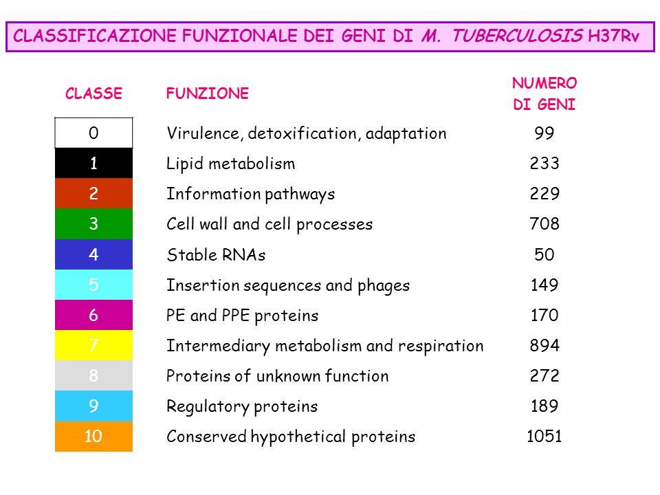 CLASSIFICAZIONE FUNZIONALE DEI GENI DI M. TUBERCULOSIS H37Rv CLASSEFUNZIONE NUMERO DI GENI 0 Virulence, detoxification, adaptation 99 1 Lipid metaboli