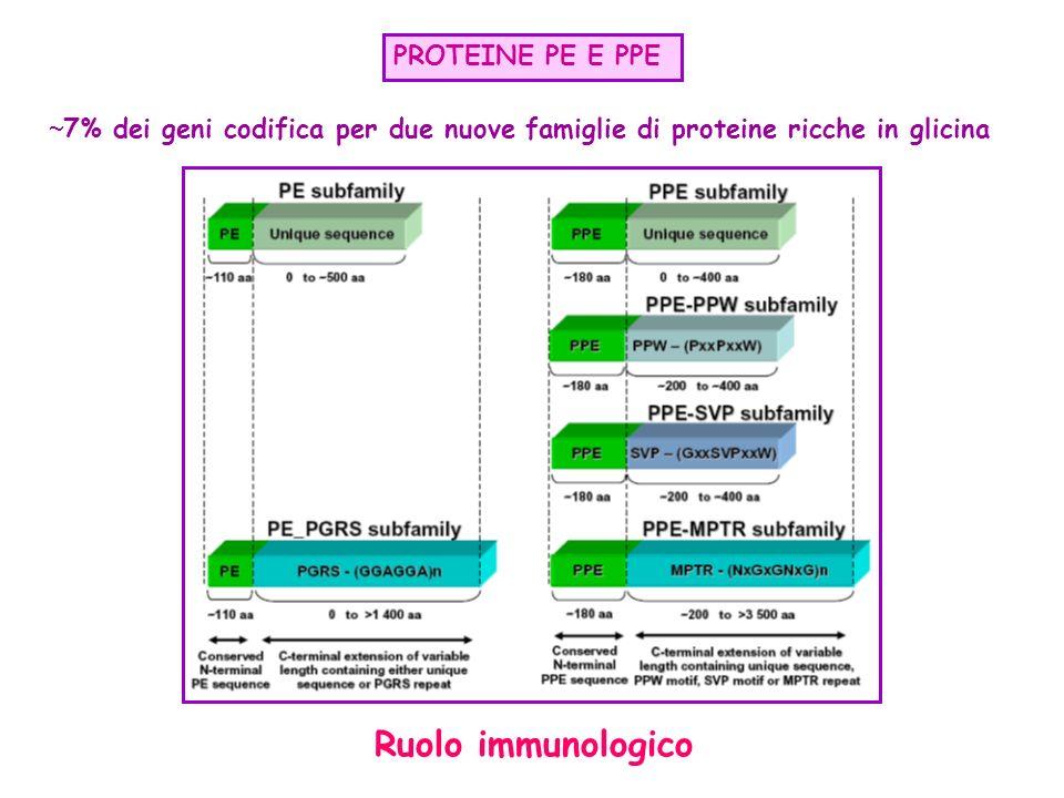 PROTEINE PE E PPE 7% dei geni codifica per due nuove famiglie di proteine ricche in glicina Ruolo immunologico