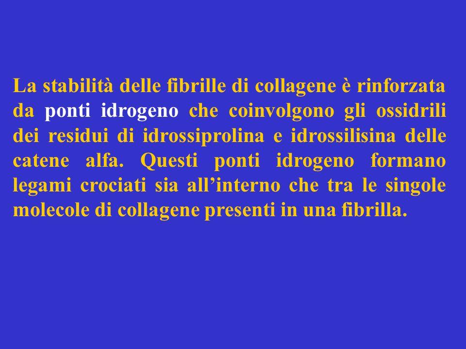 La stabilità delle fibrille di collagene è rinforzata da ponti idrogeno che coinvolgono gli ossidrili dei residui di idrossiprolina e idrossilisina de