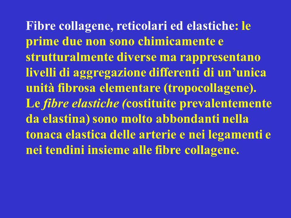 Fibre collagene, reticolari ed elastiche: le prime due non sono chimicamente e strutturalmente diverse ma rappresentano livelli di aggregazione differ