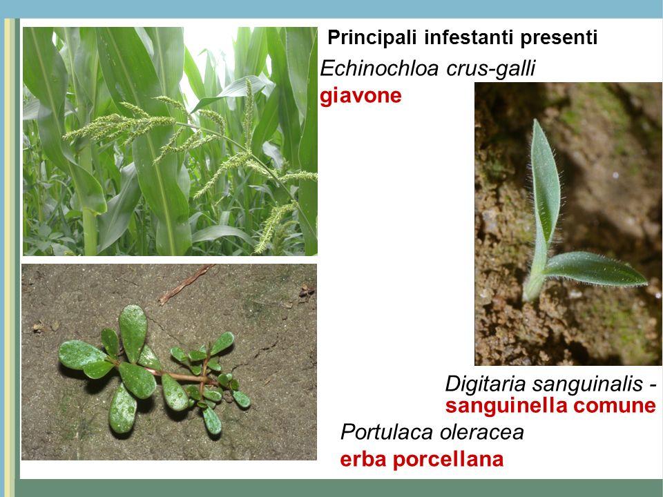 Echinochloa crus-galli giavone Portulaca oleracea erba porcellana Digitaria sanguinalis - sanguinella comune Principali infestanti presenti