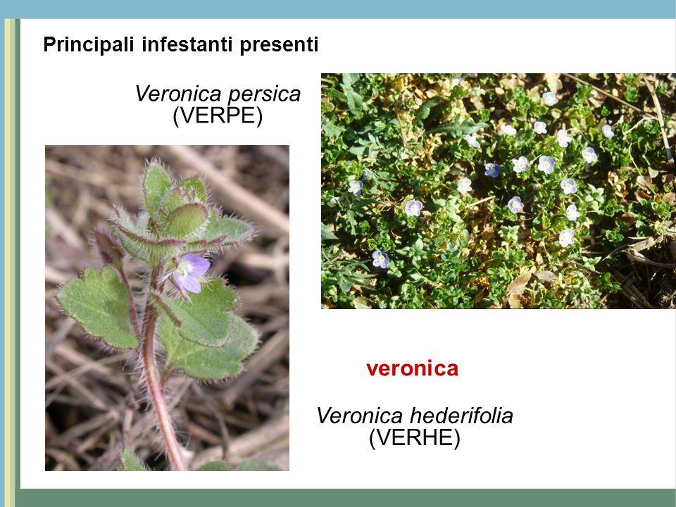 Veronica persica (VERPE) Veronica hederifolia (VERHE) veronica Principali infestanti presenti