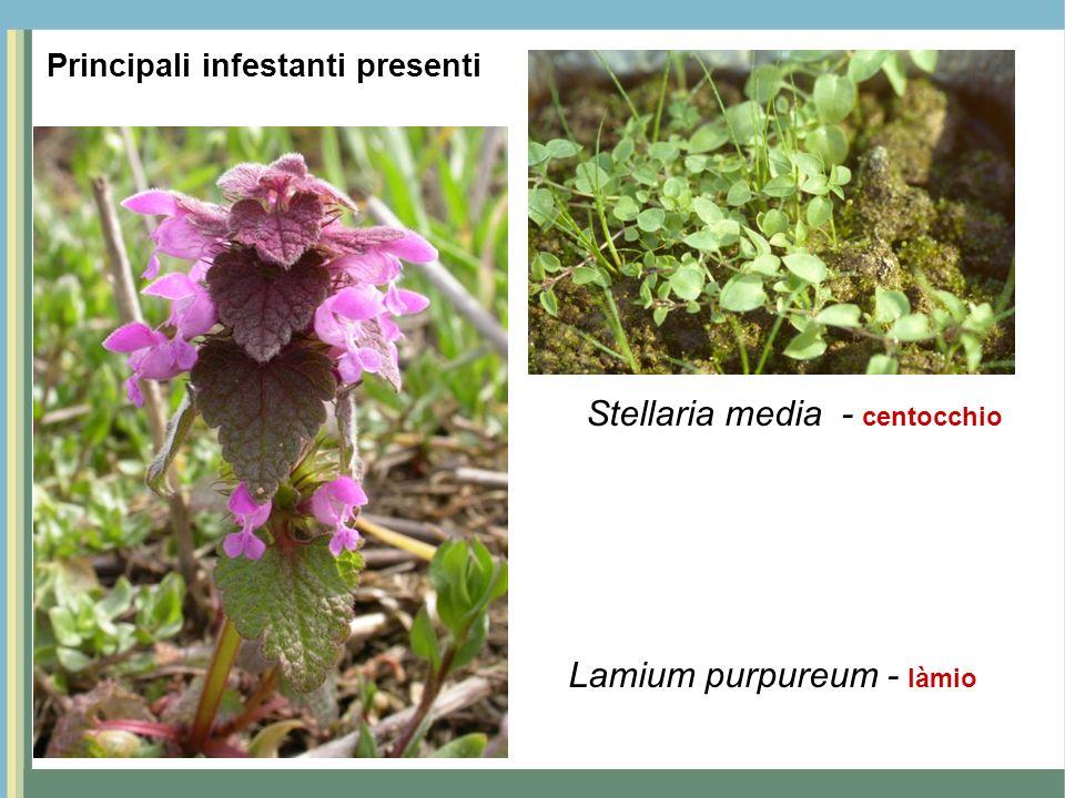 Stellaria media - centocchio Lamium purpureum - làmio Principali infestanti presenti