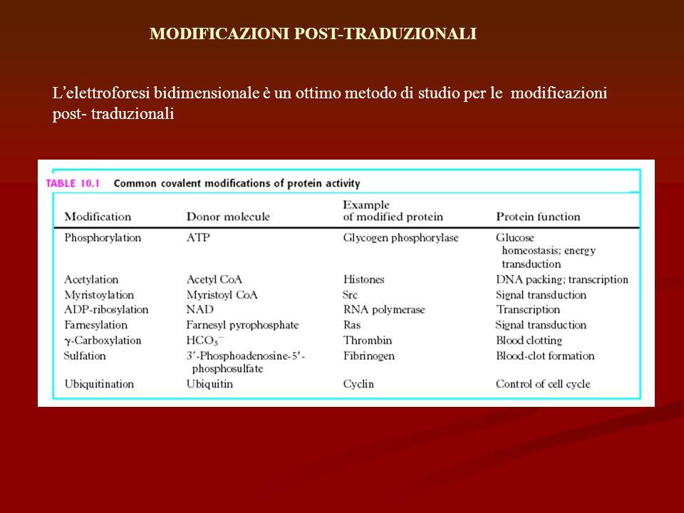 MODIFICAZIONI POST-TRADUZIONALI Lelettroforesi bidimensionale è un ottimo metodo di studio per le modificazioni post- traduzionali