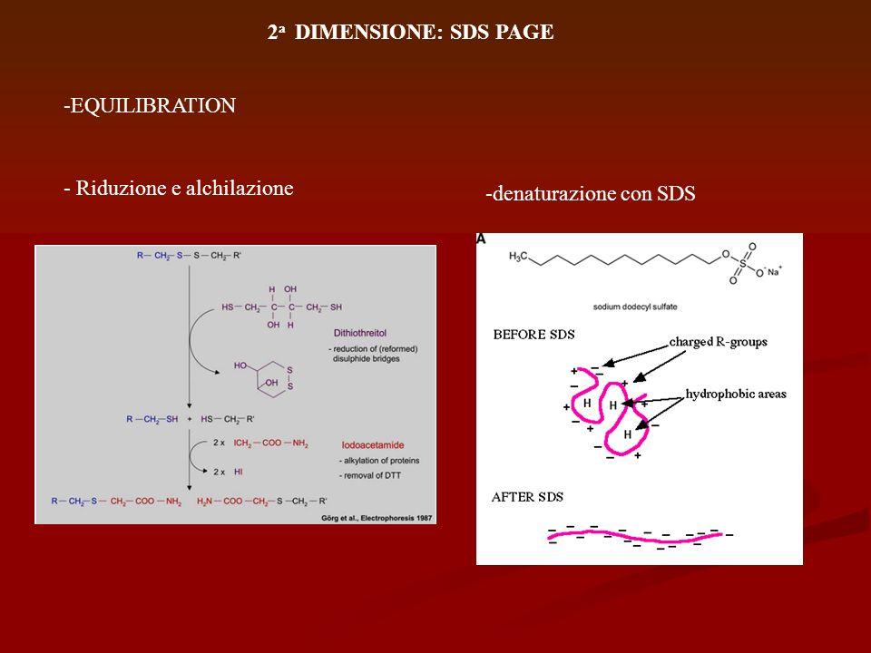 2 a DIMENSIONE: SDS PAGE Rf = mobilità relativa delle proteine: rapporto tra la distanza percorsa dalla proteina rispetto a quella percorsa dal colorante