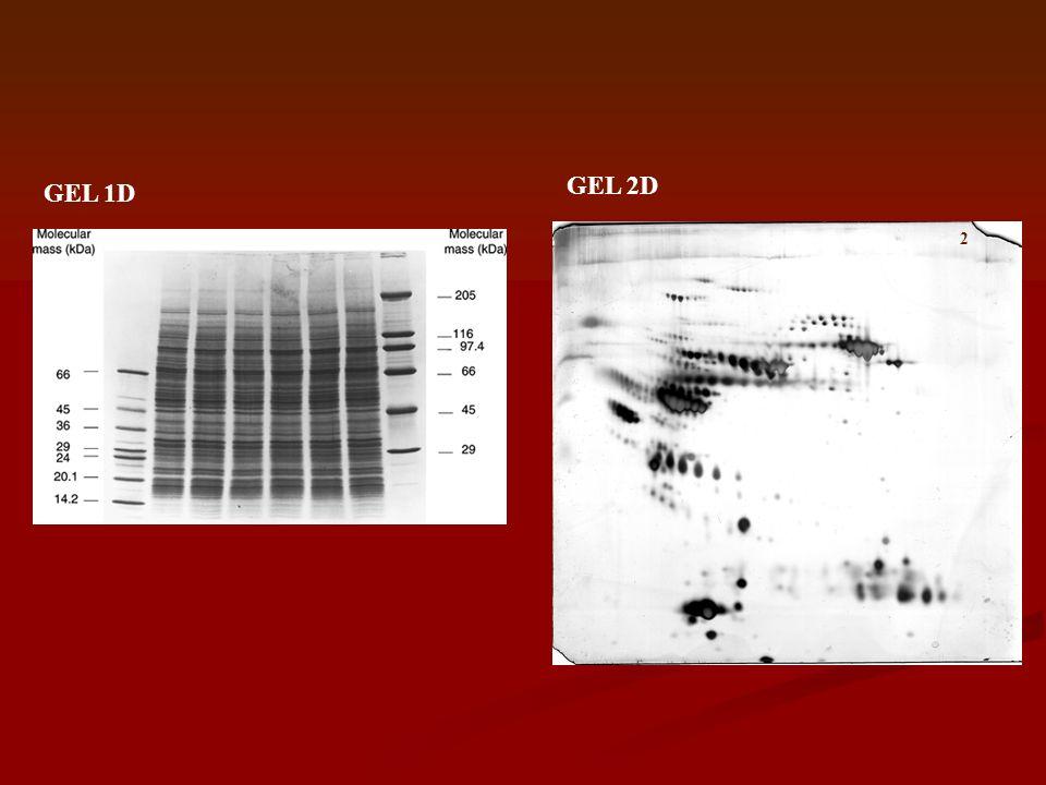 METODI DI DETECTION Caratteristiche -Sensibilità -Range dinamico -Riproducibilità -Variabilità (proteina-proteina) - Compatibilità con le analisi successive Metodi -Coloranti anionici: Coomassie BB -Silver stain -Isotopi radioattivi -Fluorescenza