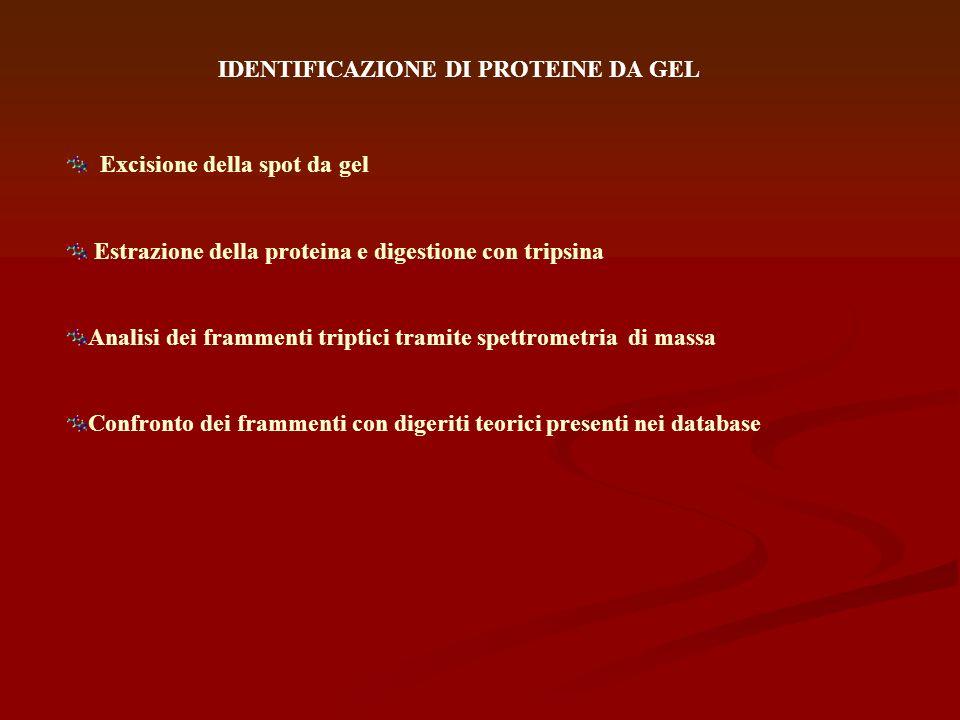 IDENTIFICAZIONE DI PROTEINE DA GEL Excisione della spot da gel Estrazione della proteina e digestione con tripsina Analisi dei frammenti triptici tram