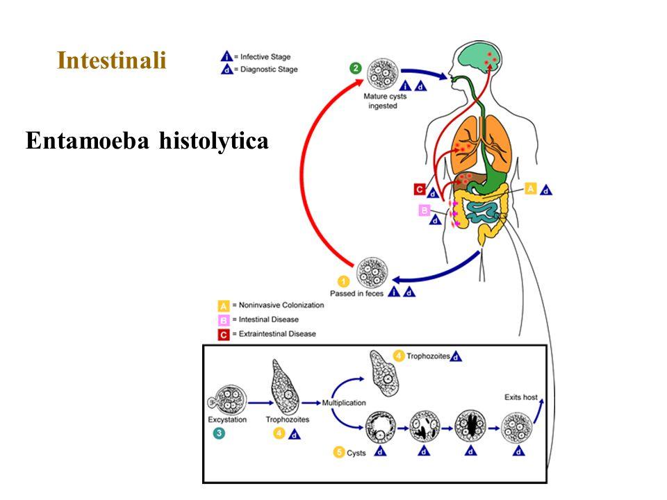 Entamoeba histolytica Intestinali