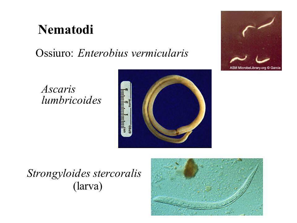 Nematodi Ossiuro: Enterobius vermicularis Ascaris lumbricoides Strongyloides stercoralis (larva)