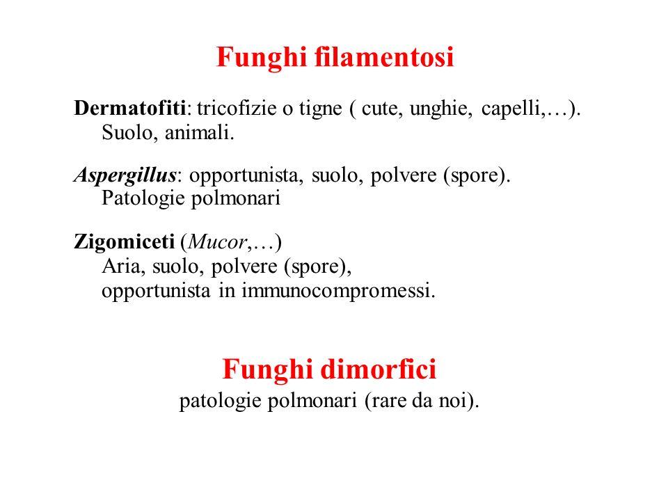 Funghi filamentosi Dermatofiti: tricofizie o tigne ( cute, unghie, capelli,…). Suolo, animali. Aspergillus: opportunista, suolo, polvere (spore). Pato