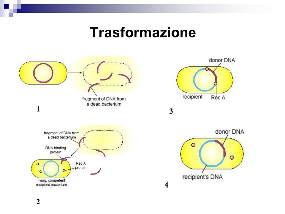 Batteriofagi Batteriofagi e Escherichia coli