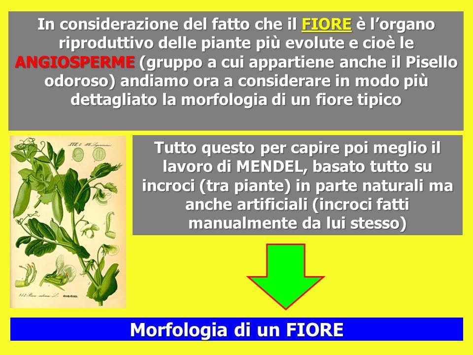In considerazione del fatto che il FIORE è lorgano riproduttivo delle piante più evolute e cioè le ANGIOSPERME (gruppo a cui appartiene anche il Pisel