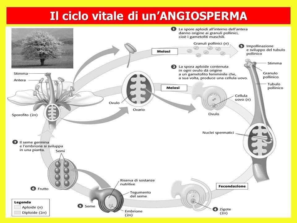 Il ciclo vitale di unANGIOSPERMA