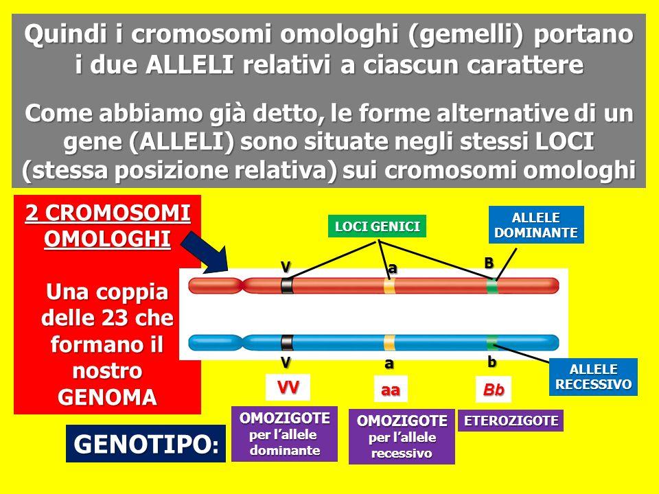 Quindi i cromosomi omologhi (gemelli) portano i due ALLELI relativi a ciascun carattere Come abbiamo già detto, le forme alternative di un gene (ALLEL