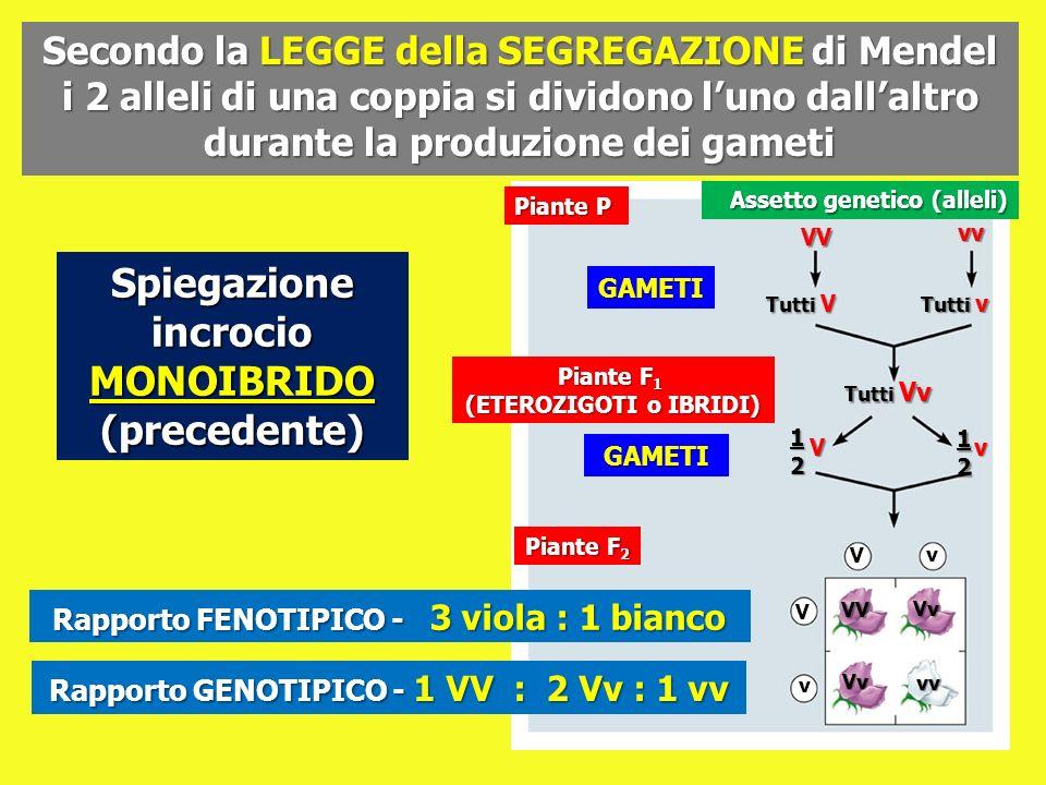 Secondo la LEGGE della SEGREGAZIONE di Mendel i 2 alleli di una coppia si dividono luno dallaltro durante la produzione dei gameti Spiegazione incroci