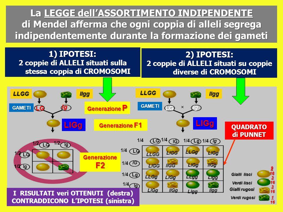 La LEGGE dellASSORTIMENTO INDIPENDENTE di Mendel afferma che ogni coppia di alleli segrega indipendentemente durante la formazione dei gameti GAMETI L