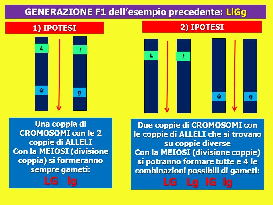 G g L l 1) IPOTESI 2) IPOTESI Una coppia di CROMOSOMI con le 2 coppie di ALLELI Con la MEIOSI (divisione coppia) si formeranno sempre gameti: LG lg GE