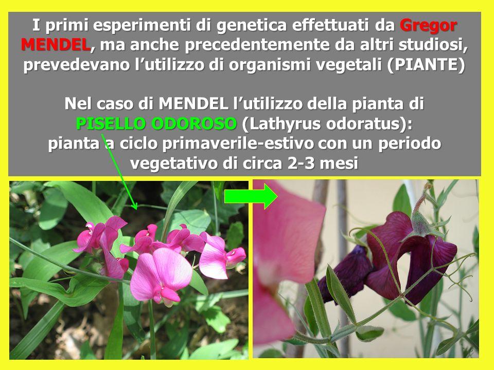 I primi esperimenti di genetica effettuati da Gregor MENDEL, ma anche precedentemente da altri studiosi, prevedevano lutilizzo di organismi vegetali (