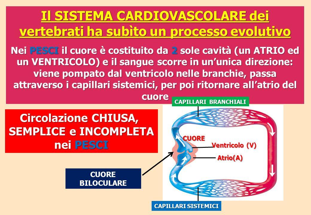 Il SISTEMA CARDIOVASCOLARE dei vertebrati ha subìto un processo evolutivo Nei PESCI il cuore è costituito da 2 sole cavità (un ATRIO ed un VENTRICOLO)