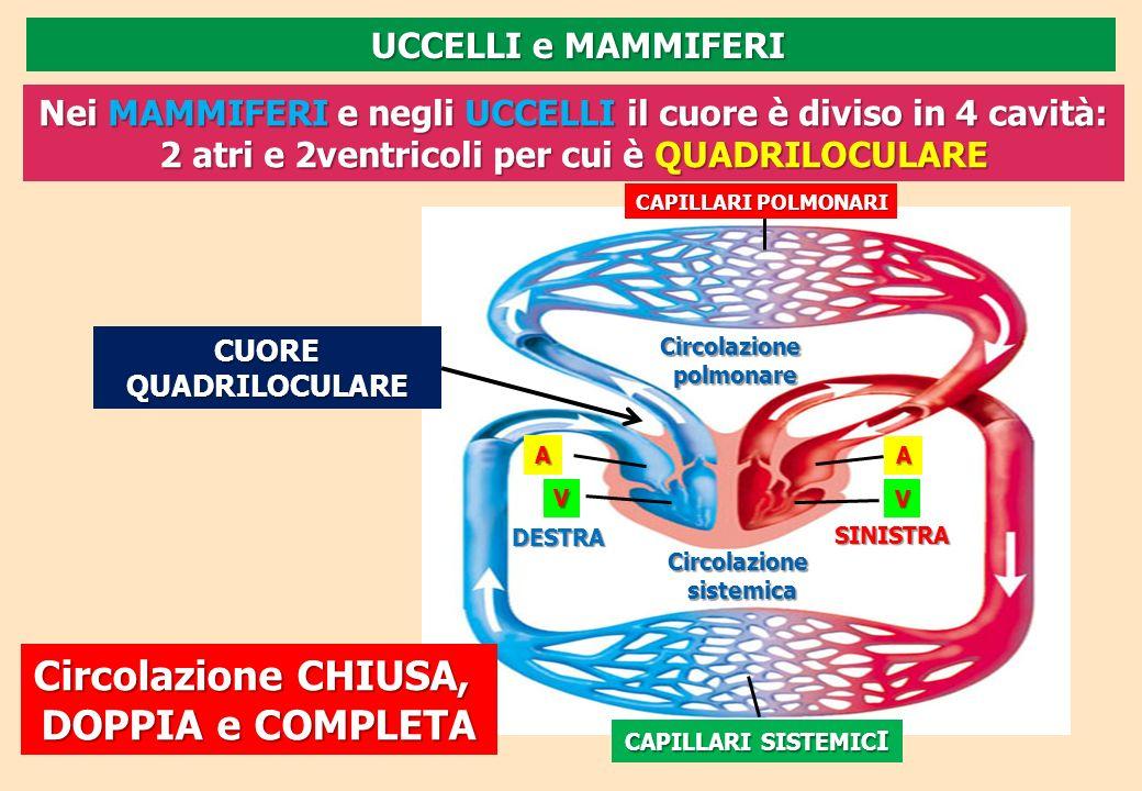 Circolazionepolmonare Circolazionesistemica DESTRA SINISTRA A A V CAPILLARI POLMONARI CAPILLARI SISTEMIC I V Nei MAMMIFERI e negli UCCELLI il cuore è