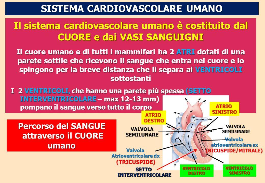 SISTEMA CARDIOVASCOLARE UMANO Il sistema cardiovascolare umano è costituito dal CUORE e dai VASI SANGUIGNI Il cuore umano e di tutti i mammiferi ha 2