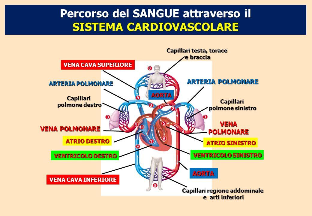 1 7 2 2 5 6 4 4 10 3 3 9 9 8 8 VENA CAVA SUPERIORE Capillari testa, torace e braccia ARTERIA POLMONARE Capillari polmone sinistro VENA POLMONARE AORTA