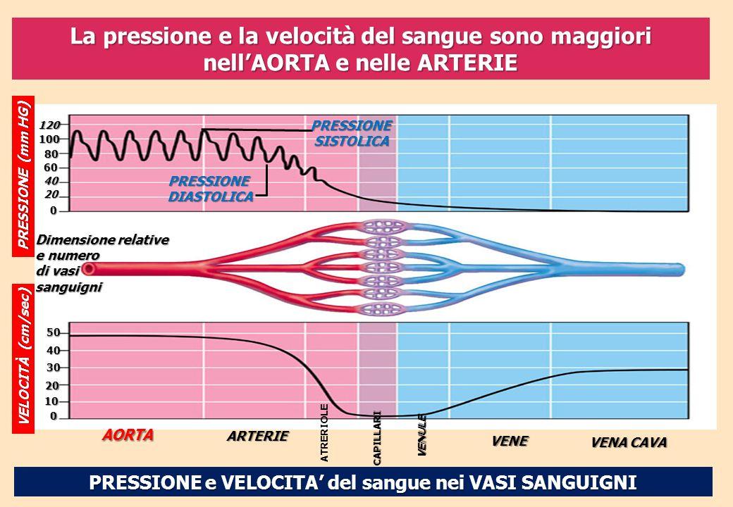PRESSIONE e VELOCITA del sangue nei VASI SANGUIGNI PRESSIONE (mm HG) 120 100 80 60 40 20 0 PRESSIONESISTOLICA PRESSIONEDIASTOLICA Dimensione relative