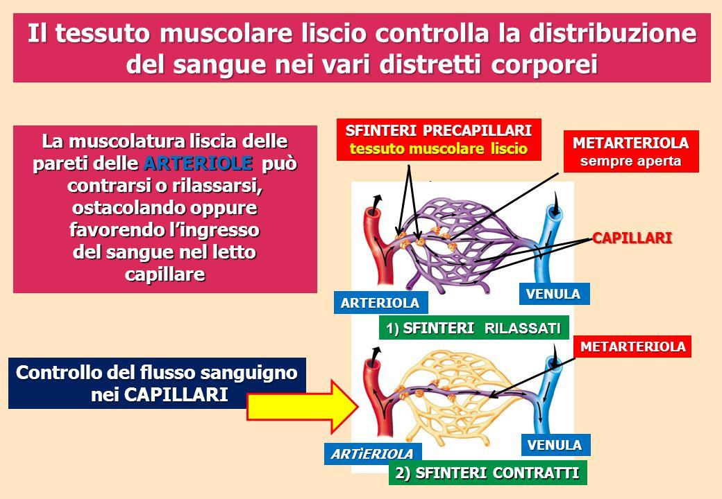Il tessuto muscolare liscio controlla la distribuzione del sangue nei vari distretti corporei Controllo del flusso sanguigno nei CAPILLARI nei CAPILLA