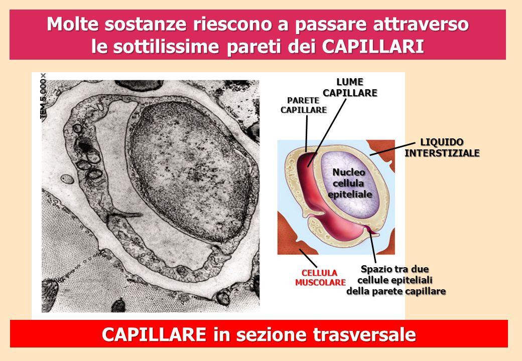 Molte sostanze riescono a passare attraverso le sottilissime pareti dei CAPILLARI TEM 5.000 TEM 5.000 CELLULAMUSCOLARE Spazio tra due cellule epitelia