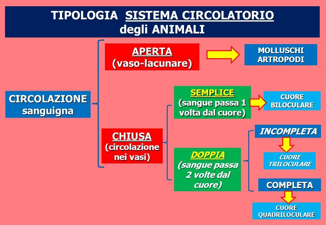 CIRCOLAZIONEsanguigna APERTA(vaso-lacunare) CHIUSA (circolazione nei vasi) SEMPLICE (sangue passa 1 volta dal cuore) DOPPIA (sangue passa 2 volte dal