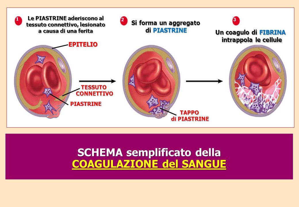 EPITELIO 1 Le PIASTRINE aderiscono al tessuto connettivo, lesionato a causa di una ferita TESSUTOCONNETTIVO PIASTRINE TAPPO di PIASTRINE 2 Si forma un