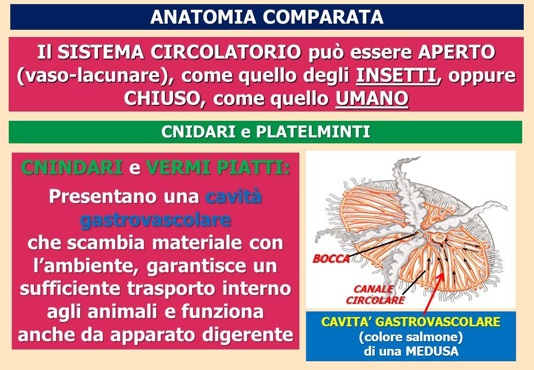 Il SISTEMA CIRCOLATORIO può essere APERTO (vaso-lacunare), come quello degli INSETTI, oppure CHIUSO, come quello UMANO CAVITA GASTROVASCOLARE (colore