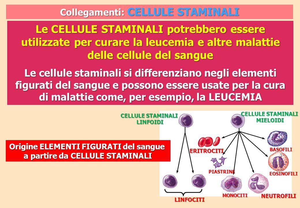 Le CELLULE STAMINALI potrebbero essere utilizzate per curare la leucemia e altre malattie delle cellule del sangue Le cellule staminali si differenzia