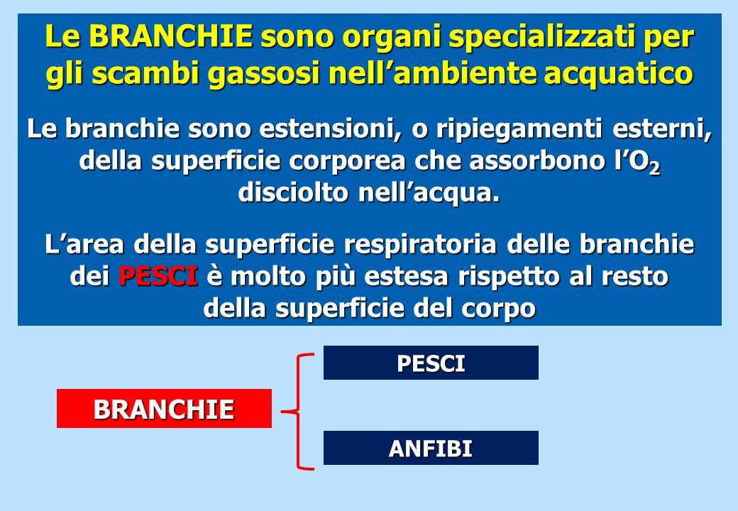 Le BRANCHIE sono organi specializzati per gli scambi gassosi nellambiente acquatico Le branchie sono estensioni, o ripiegamenti esterni, della superfi