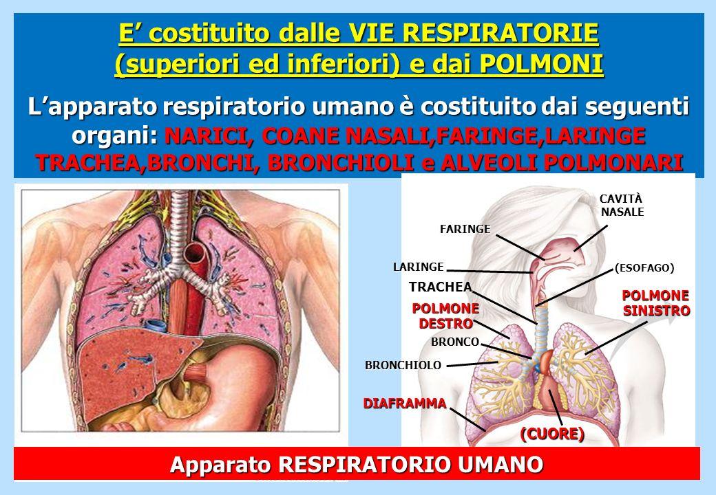 E costituito dalle VIE RESPIRATORIE (superiori ed inferiori) e dai POLMONI Lapparato respiratorio umano è costituito dai seguenti organi: NARICI, COAN