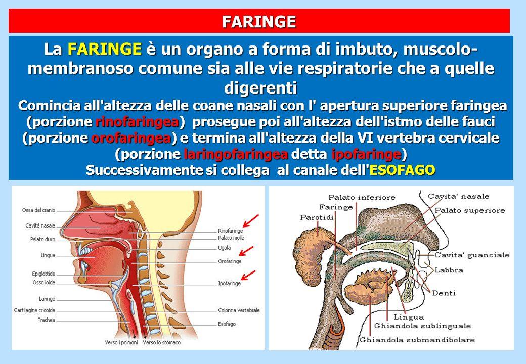 La FARINGE è un organo a forma di imbuto, muscolo- membranoso comune sia alle vie respiratorie che a quelle digerenti Comincia all'altezza delle coane