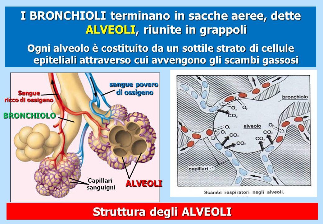 I BRONCHIOLI terminano in sacche aeree, dette ALVEOLI, riunite in grappoli Ogni alveolo è costituito da un sottile strato di cellule epiteliali attrav