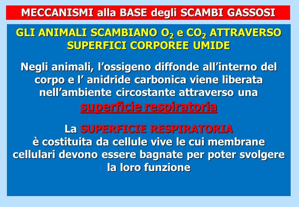 GLI ANIMALI SCAMBIANO O 2 e CO 2 ATTRAVERSO SUPERFICI CORPOREE UMIDE Negli animali, lossigeno diffonde allinterno del corpo e l anidride carbonica vie