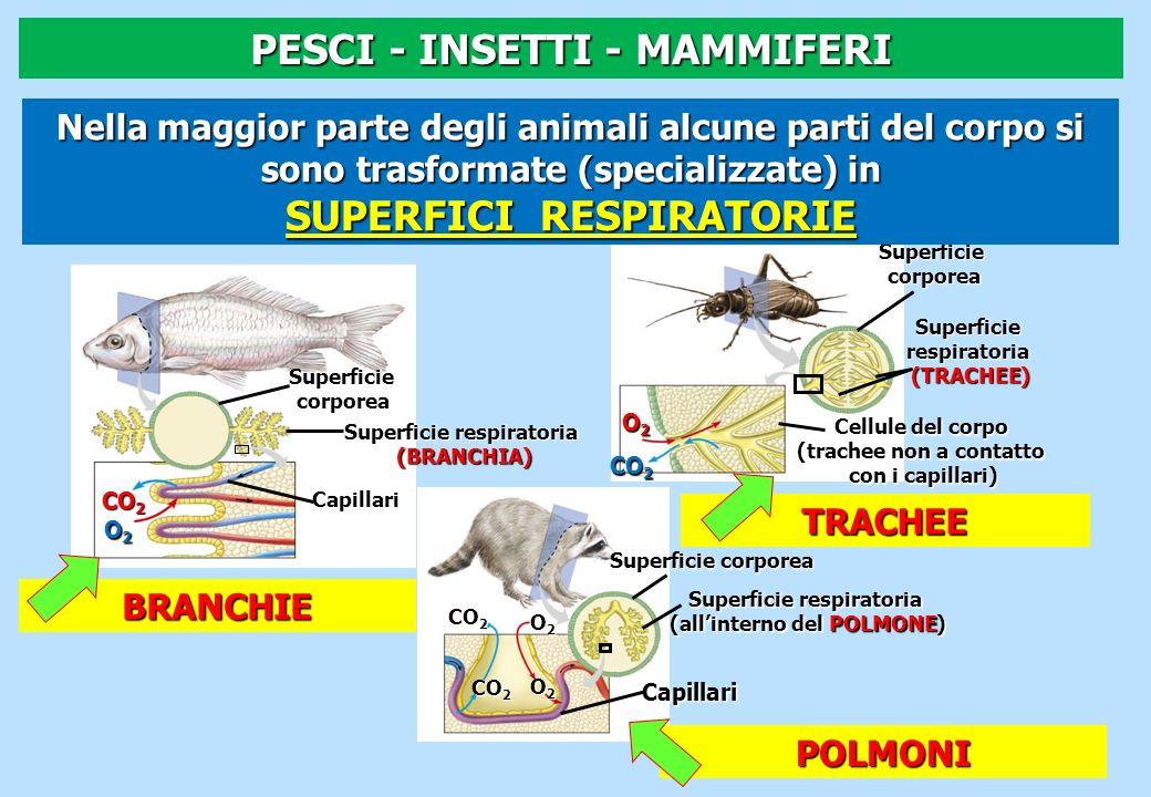 Superficie corporea corporea Superficie respiratoria (BRANCHIA) Capillari CO 2 O2O2O2O2 SuperficiecorporeaSuperficierespiratoria(TRACHEE) Cellule del