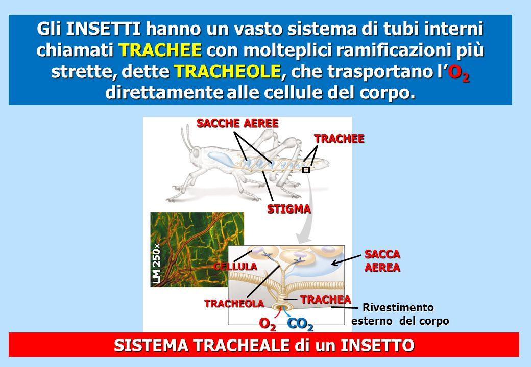 SACCHE AEREE TRACHEE STIGMA LM 250 LM 250 CELLULA TRACHEOLA SACCA AEREA TRACHEA Rivestimento esterno del corpo CO 2 O2O2O2O2 SISTEMA TRACHEALE di un I