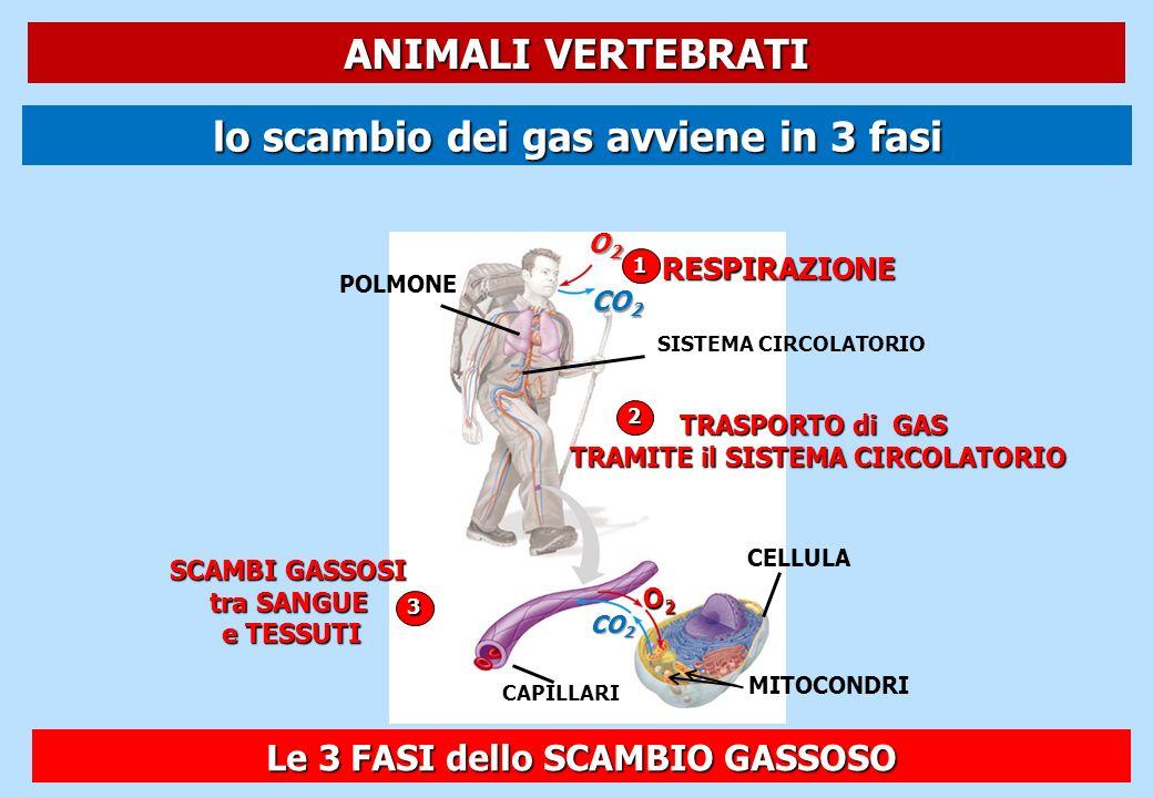lo scambio dei gas avviene in 3 fasi 1RESPIRAZIONE O2O2O2O2 CO 2 POLMONE SISTEMA CIRCOLATORIO 2 TRASPORTO di GAS TRAMITE il SISTEMA CIRCOLATORIO 3 SCA