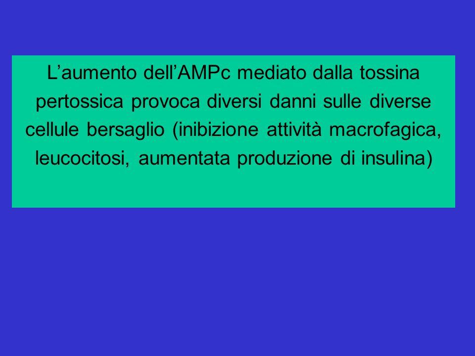 Laumento dellAMPc mediato dalla tossina pertossica provoca diversi danni sulle diverse cellule bersaglio (inibizione attività macrofagica, leucocitosi