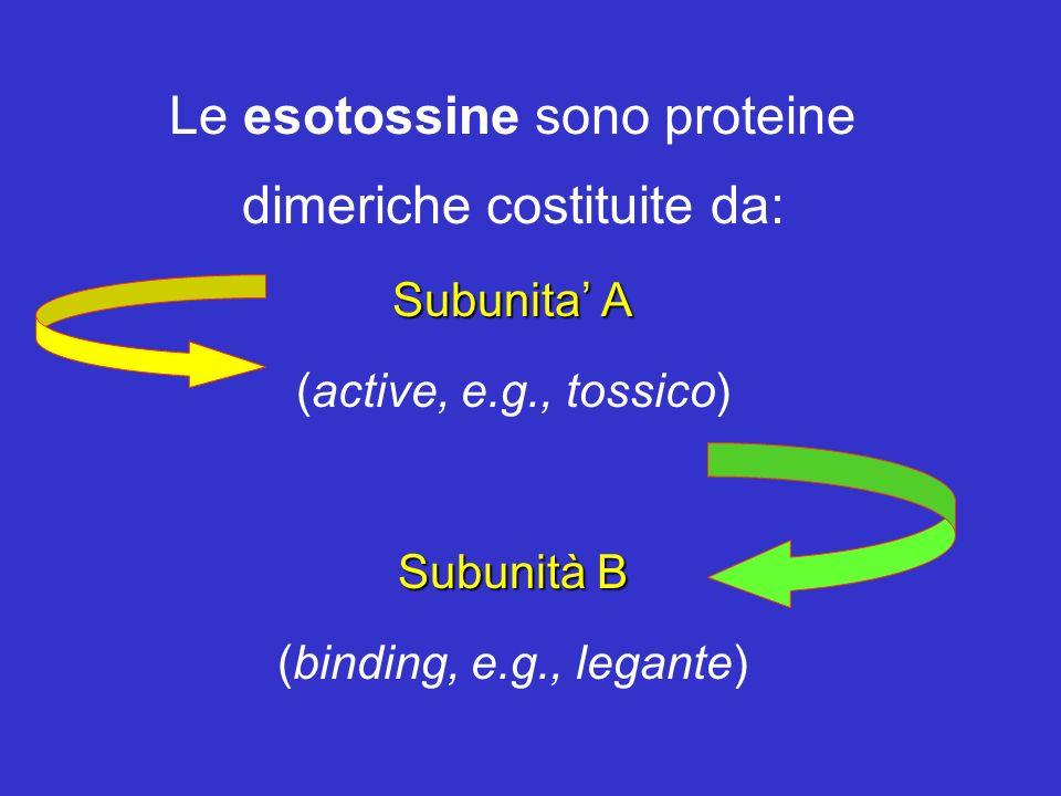 Le esotossine sono proteine dimeriche costituite da: Subunita A (active, e.g., tossico) Subunità B (binding, e.g., legante)