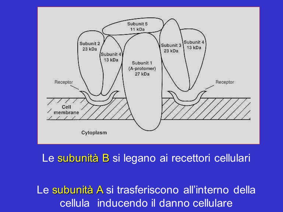subunità B Le subunità B si legano ai recettori cellulari subunità A Le subunità A si trasferiscono allinterno della cellula inducendo il danno cellul