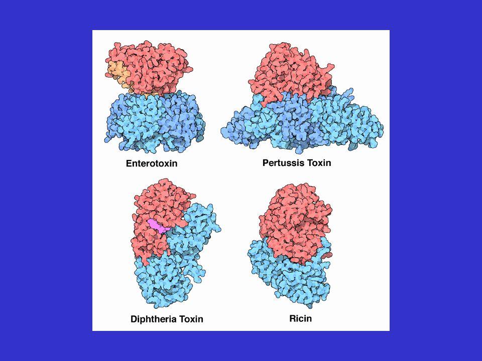 Parete cellulare dei gram-negativi LIPOPROTEINA DI BROWN: legame covalente tra il peptidoglicano e la membrana esterna