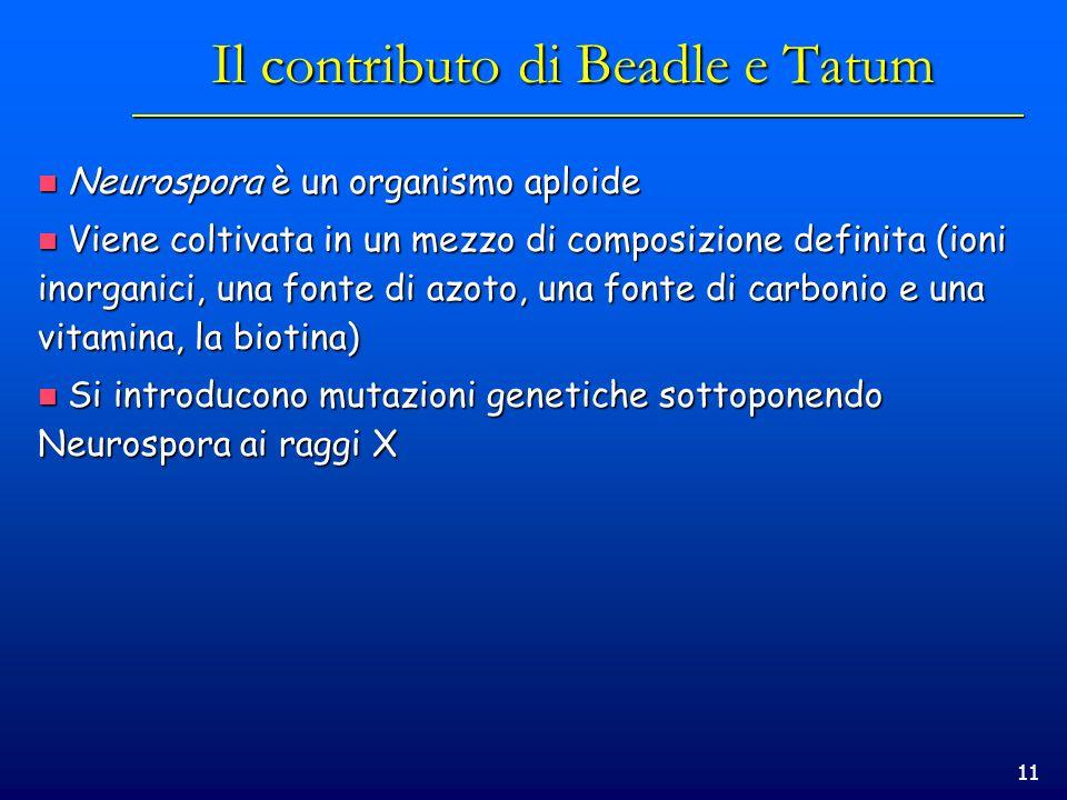 11 Il contributo di Beadle e Tatum Neurospora è un organismo aploide Neurospora è un organismo aploide Viene coltivata in un mezzo di composizione def