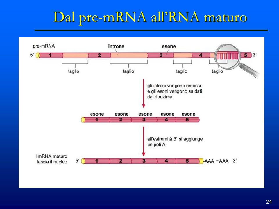 24 Dal pre-mRNA allRNA maturo