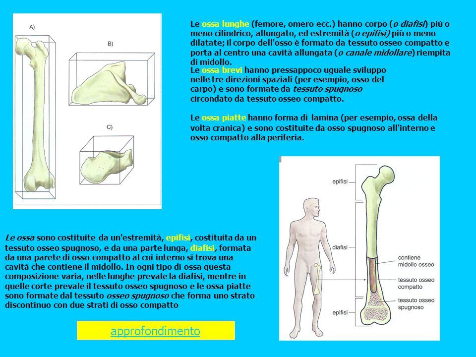 Le ossa lunghe (femore, omero ecc.) hanno corpo (o diafisi) più o meno cilindrico, allungato, ed estremità (o epifisi) più o meno dilatate; il corpo d